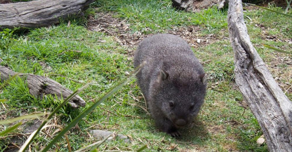 Mabel the wombat.
