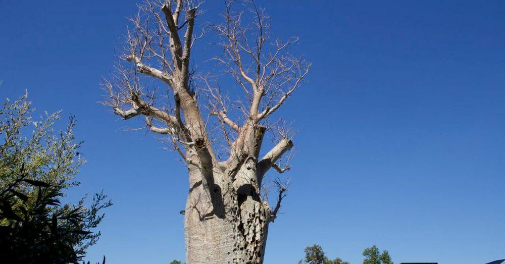 Boab Tree, Gija Jumulu.