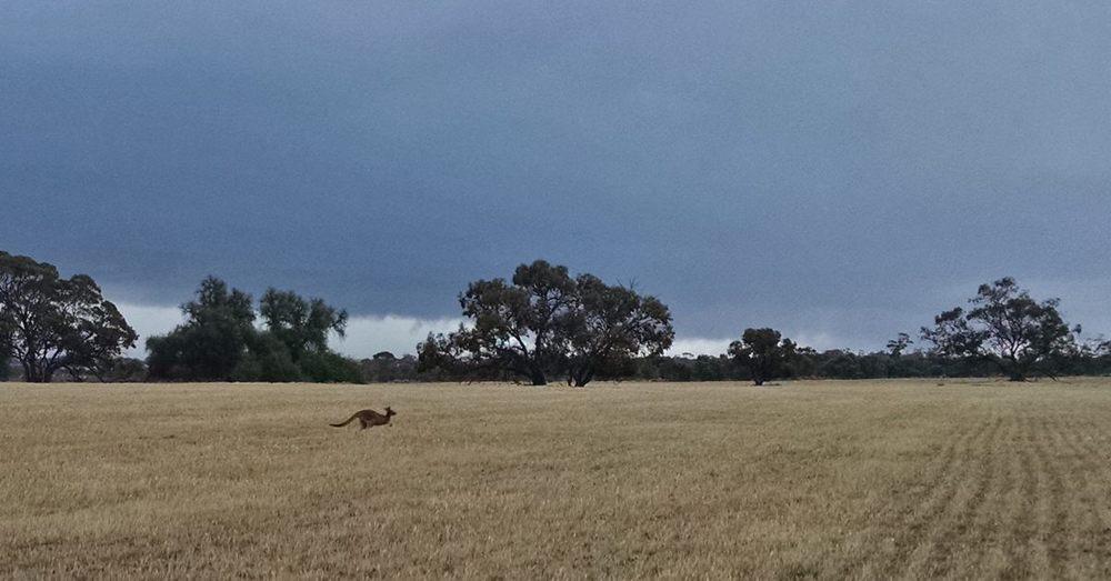 Western gray kangaroo on the run through the wheat paddock.