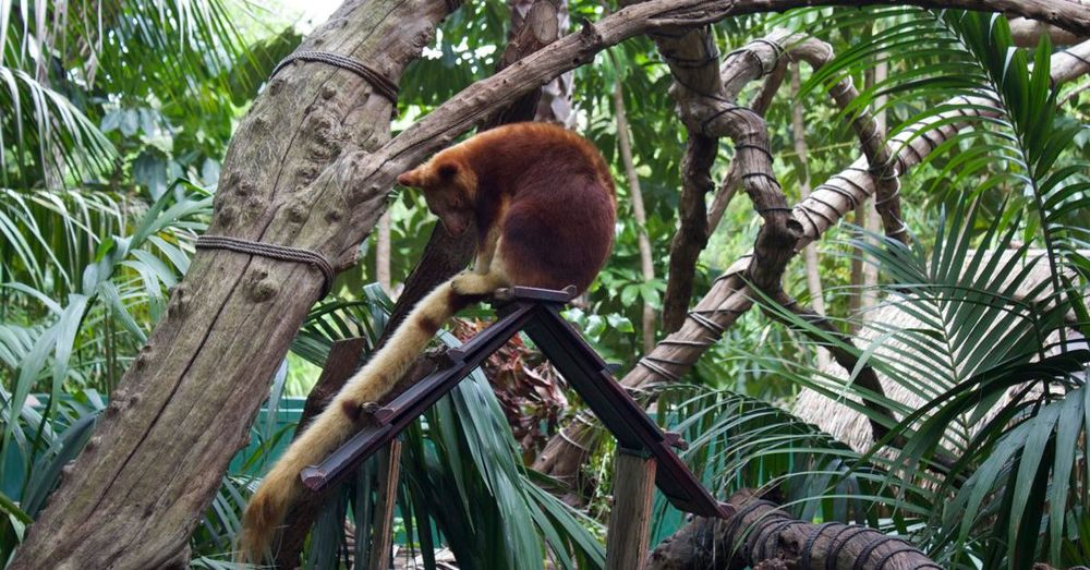 Tree kangaroo (yes, really).