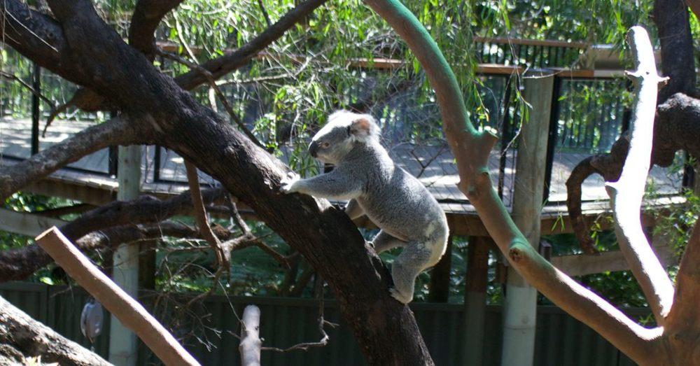 Slater, a koala.