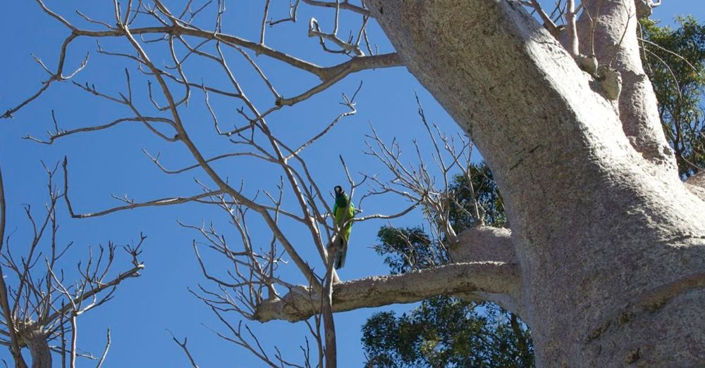 Bird in a Baob