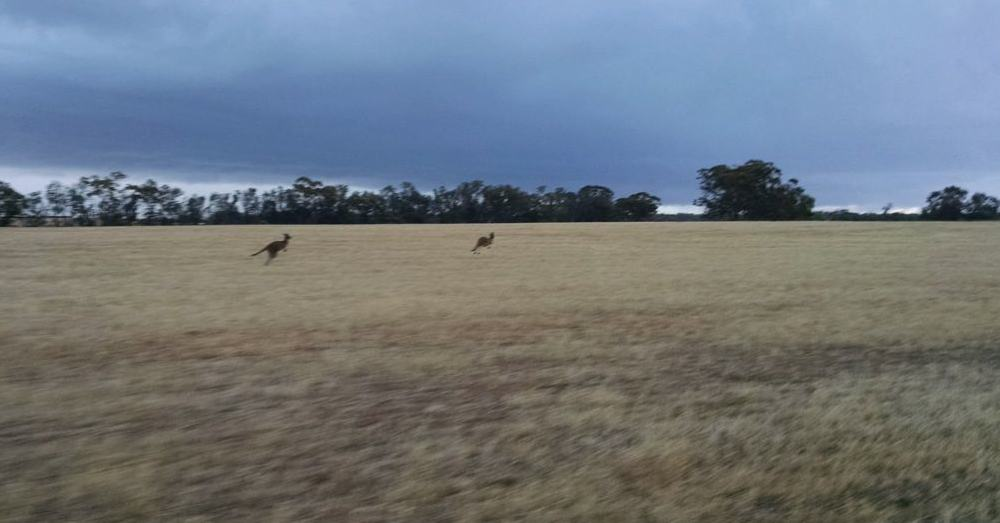Kangaroos on the run.