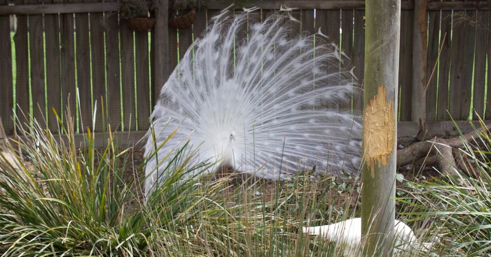 White Peacock, Open