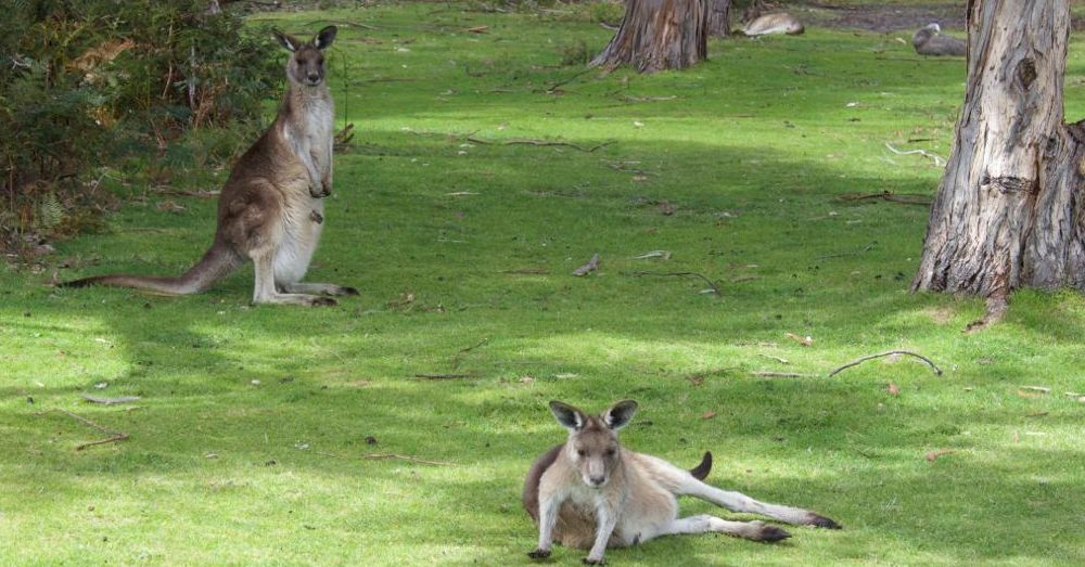Easter Gray Kangaroos
