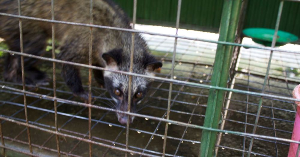 The plantation keeps a number of these civets in cages for, one presumes, easy access to their feces. It was a sad part of the tour.