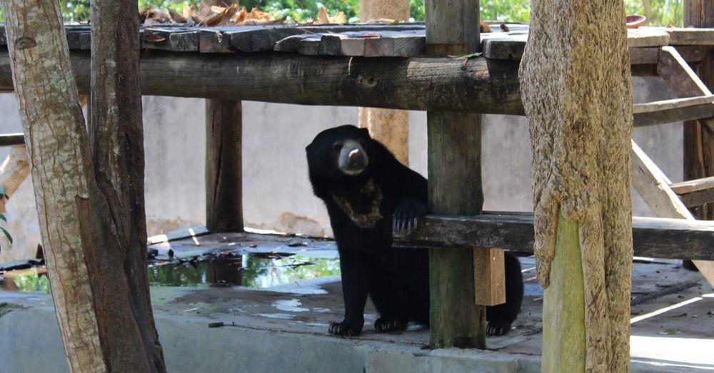 Female sun bear in Bali.