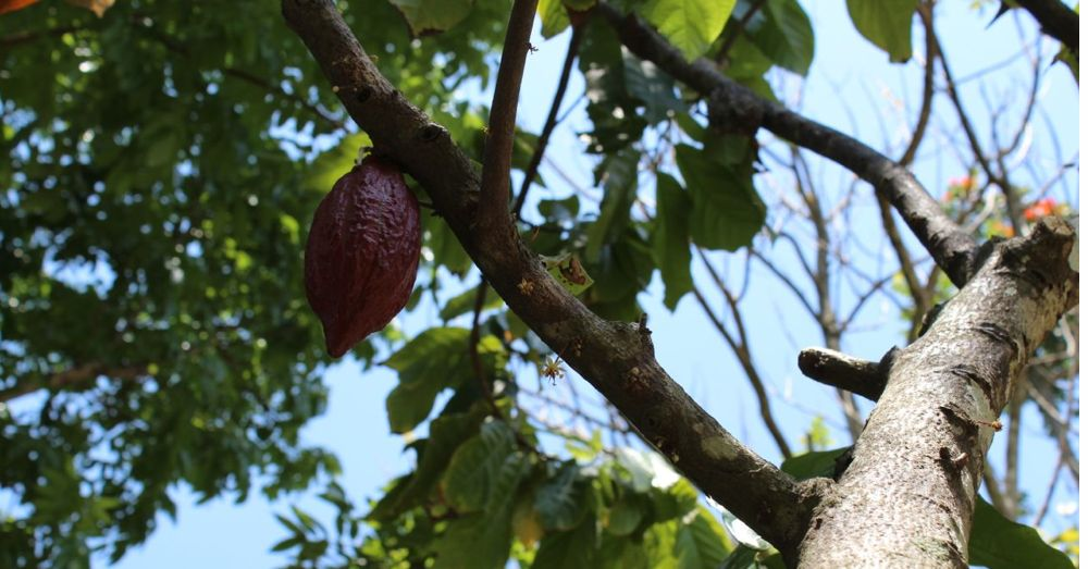 Cacao pod in the tree.