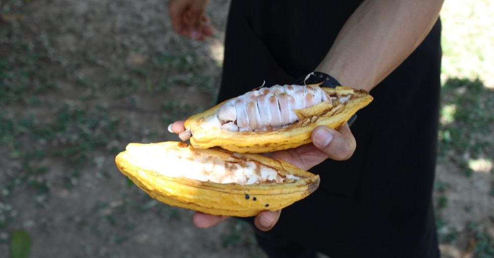 A cacao pod, cut open lengthwise.