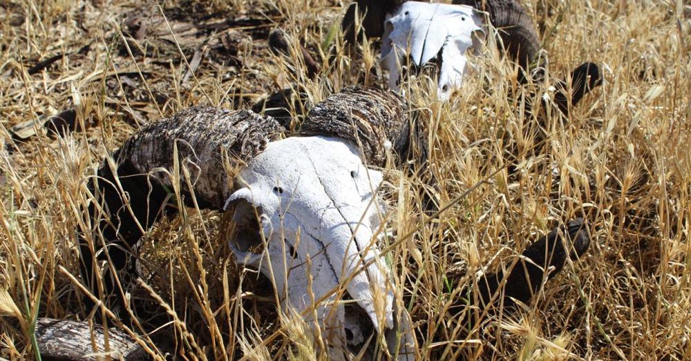 Ram Skulls