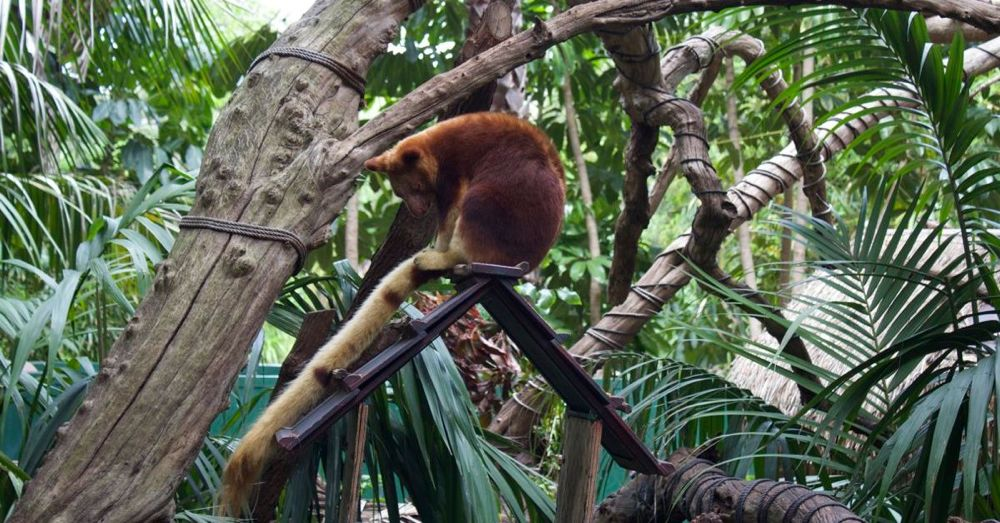 Perth Zoo: Tree Kangaroo