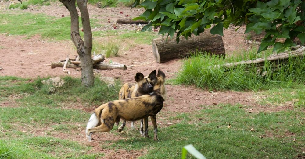 Perth Zoo: Wild Painted Dog