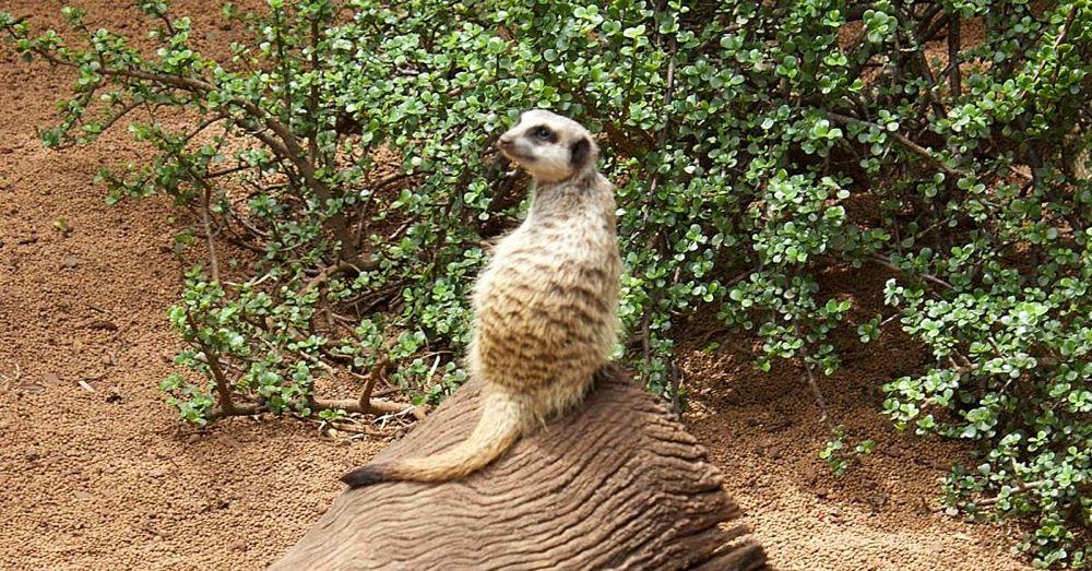 Perth Zoo: Meerkat