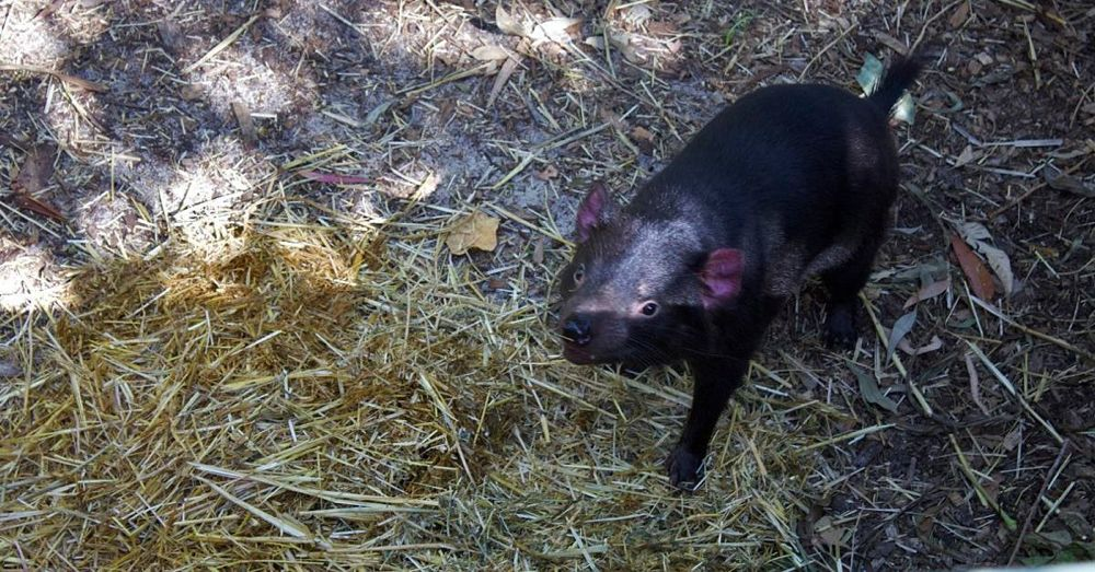Perth Zoo: Tasmanian Devil