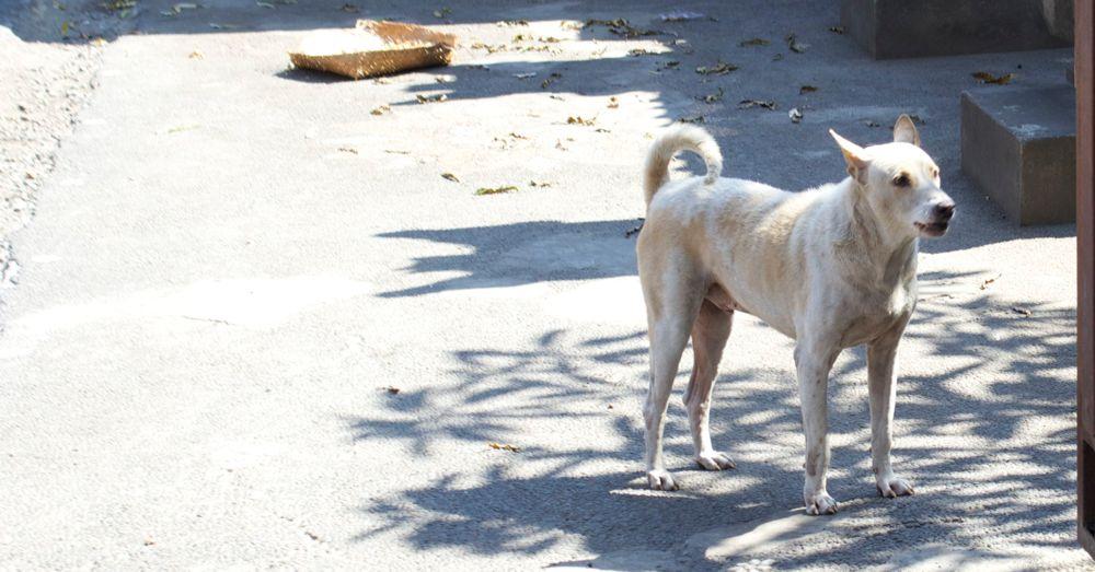 bali-dog-02.jpg