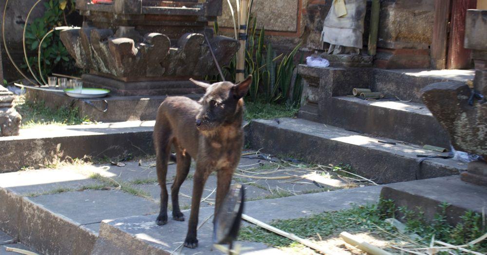 bali-dog-01.jpg