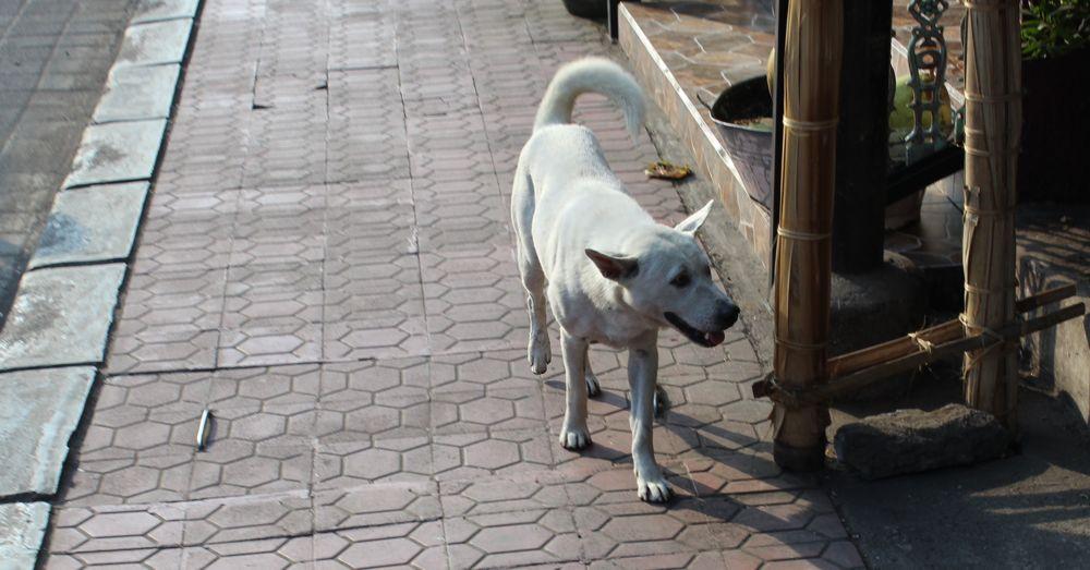 bali-dog-11.jpg