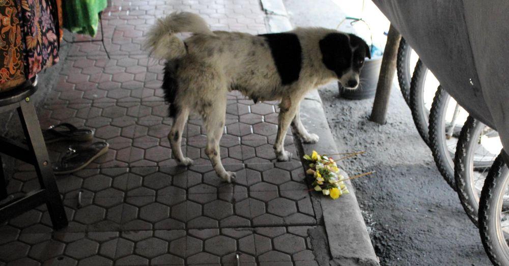 bali-dog-14.jpg