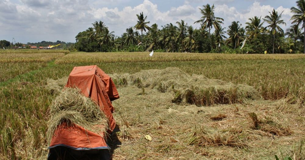 rice-harvested.jpg