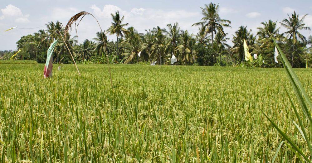 rice-field-ready.jpg