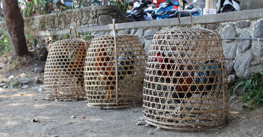 Roosters in baskets.