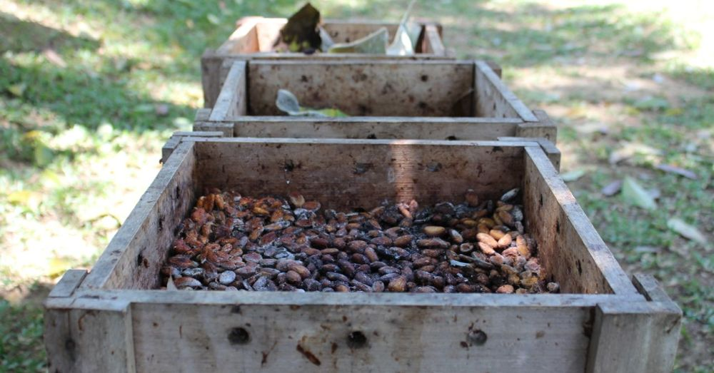 Fermenting cacao beans