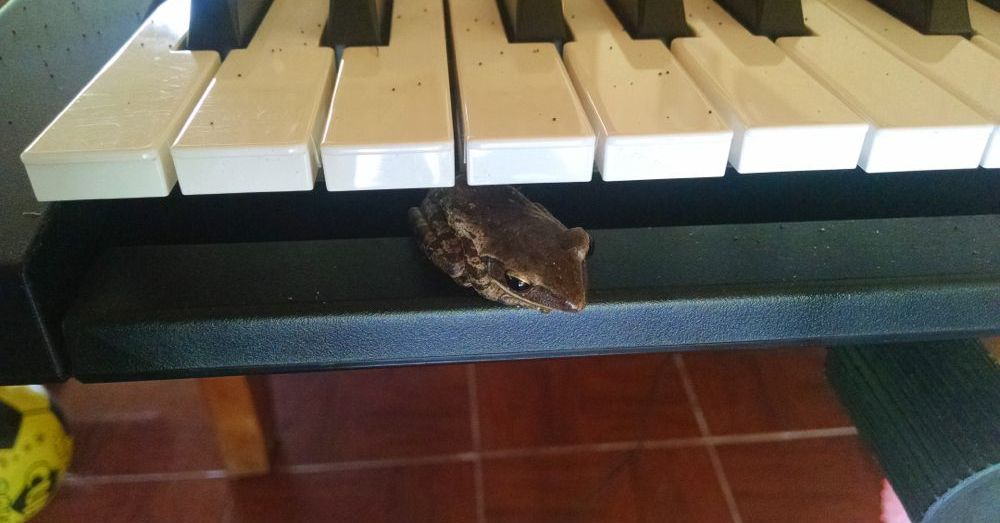 Frog in a piano