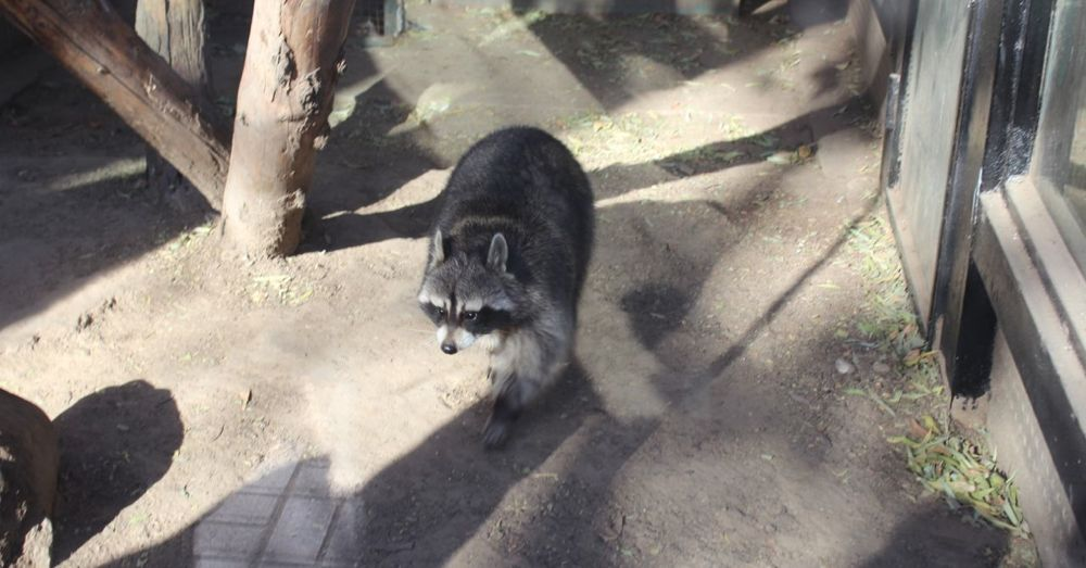 We traveled to China to see a fat raccoon.