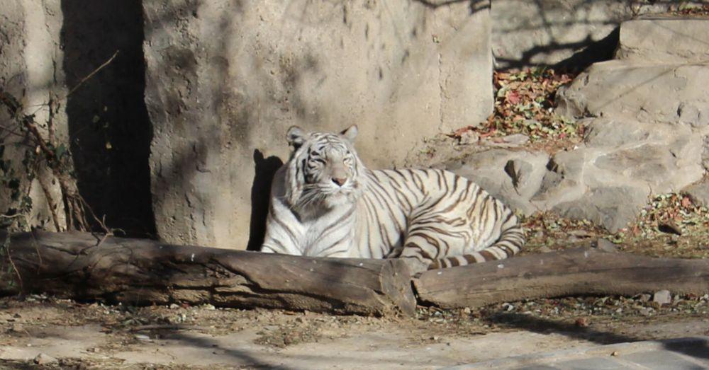 Siberian tiger No. 1.