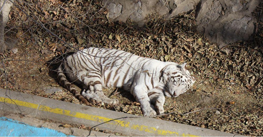 Siberian tiger No 2.