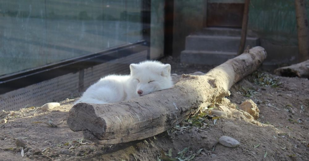 Arctic fox. Chillin'.