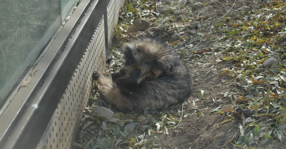 Raccoon dog.