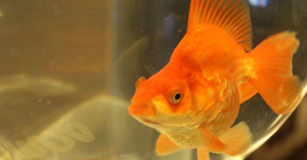 Resident Goldfish