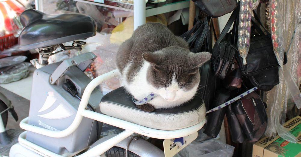 Vietnam Cat