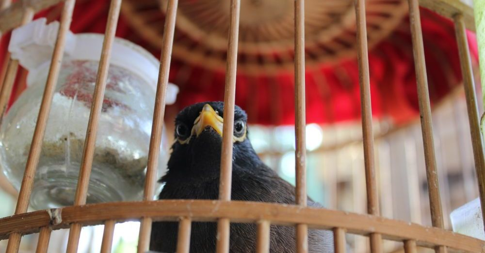 Why doesn't the caged myna bird sing?