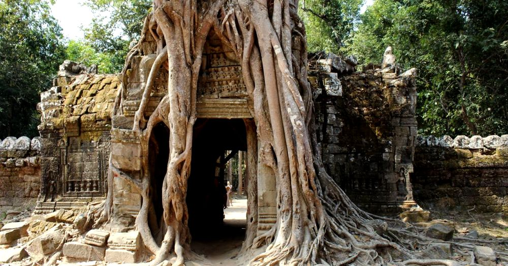 Sacred fig overgrowing the ruins at Ta Som.