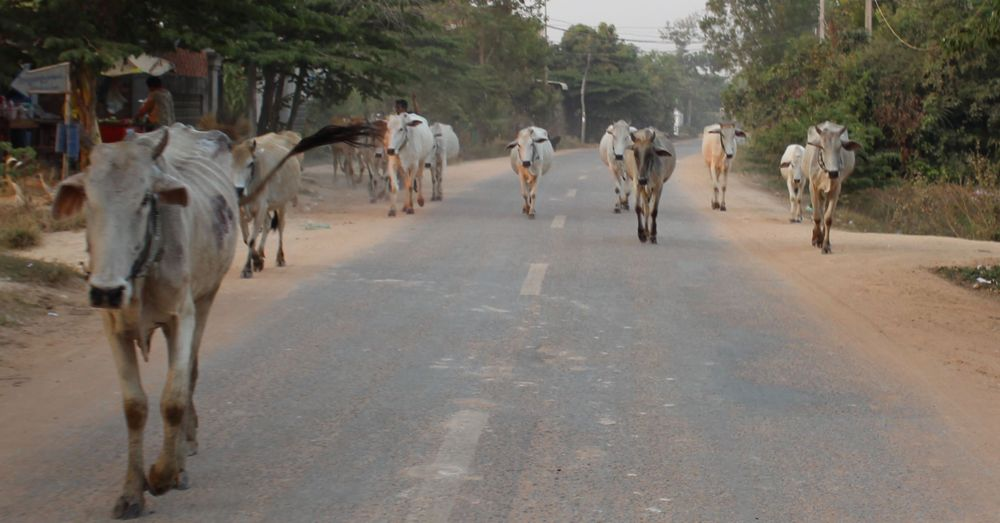 Herd of cows on the road.