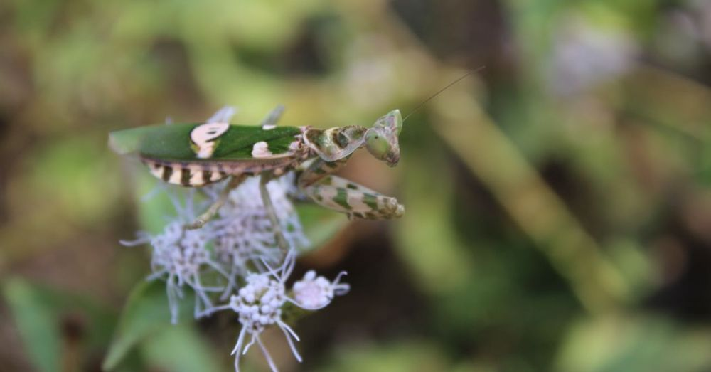 This mantis was difficult to see.