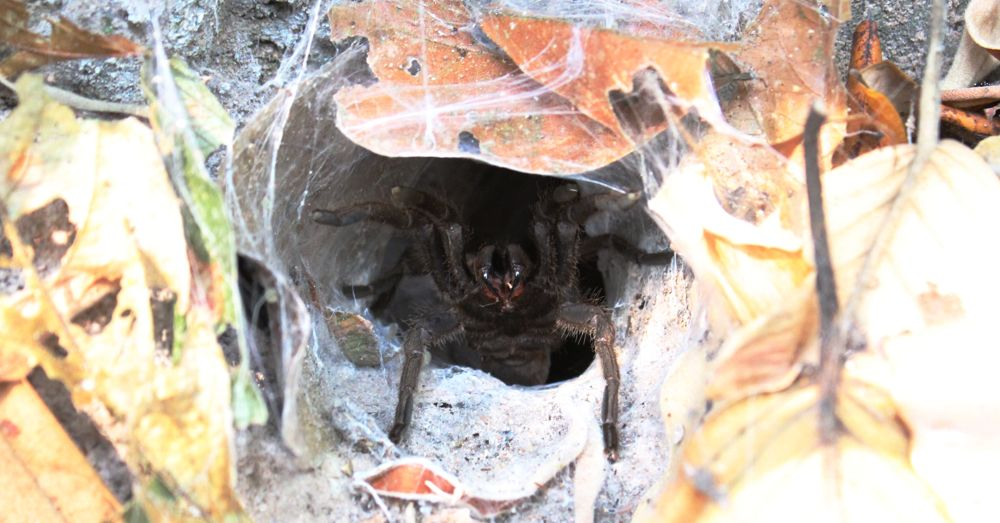 Angry tarantula.
