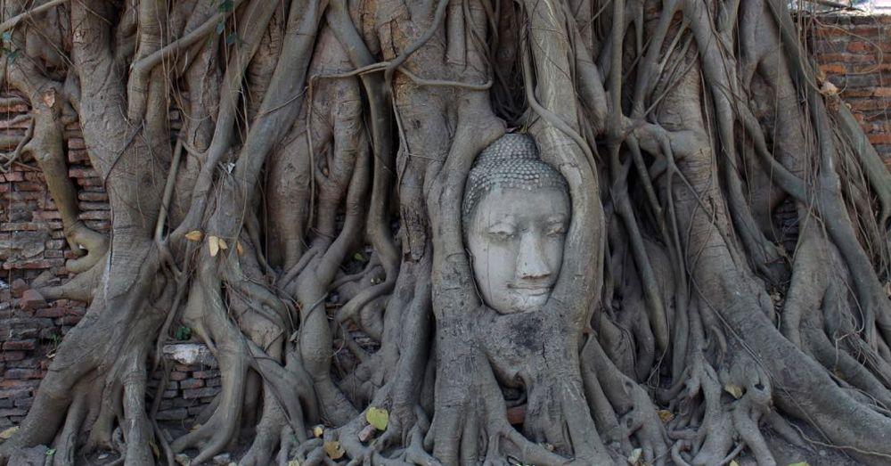 Stone Buddha head in a bodhi tree.