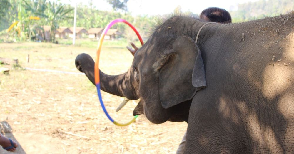 Elephants enjoy hula hoops.
