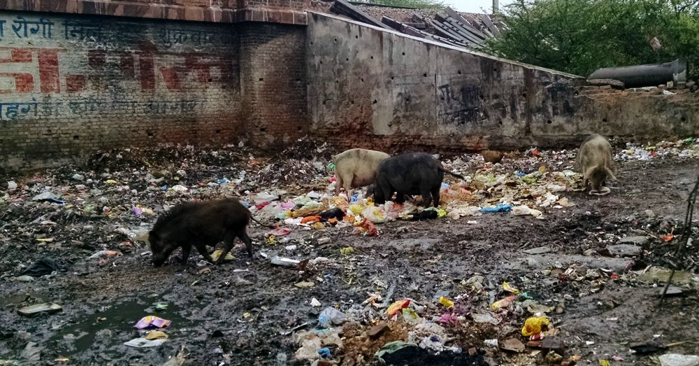 Pigs in zen.