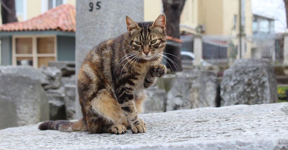 Istanbul Cat.