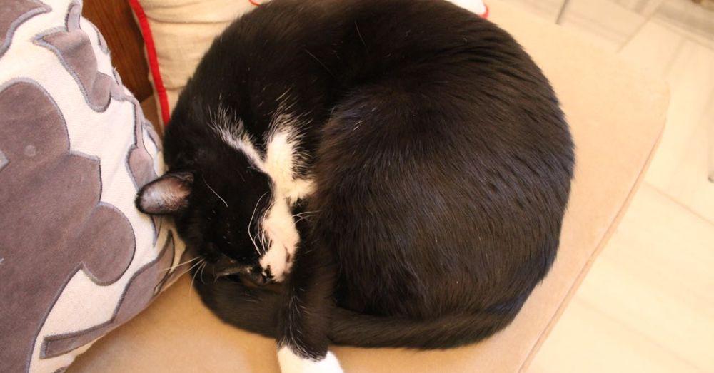 Manjur, Istanbul cat living at Empress Zoe.