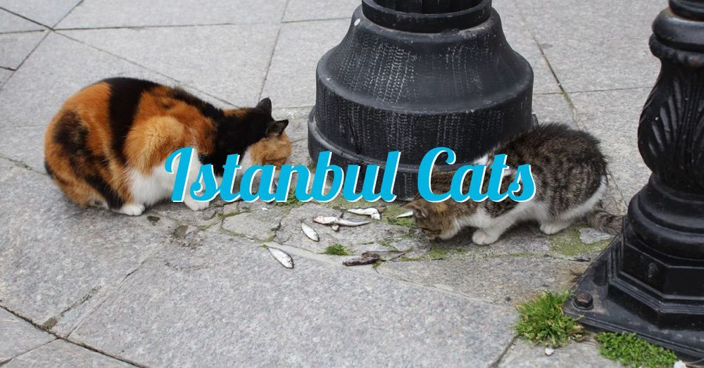 istanbul-cat-00a.jpg