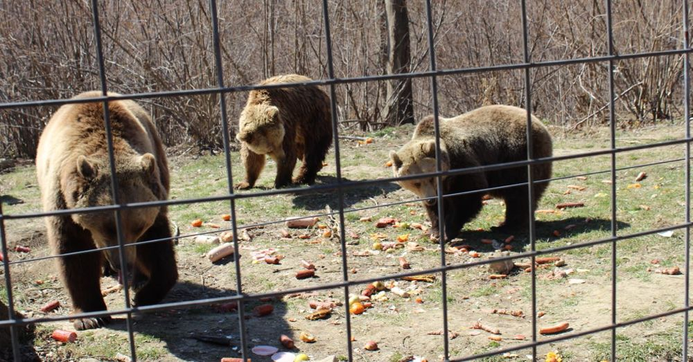 Bears eating breakfast at Libearty Bear Sanctuary.