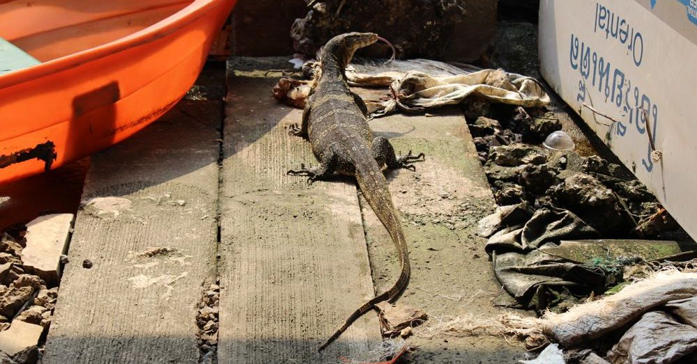 Water monitor at the docks.
