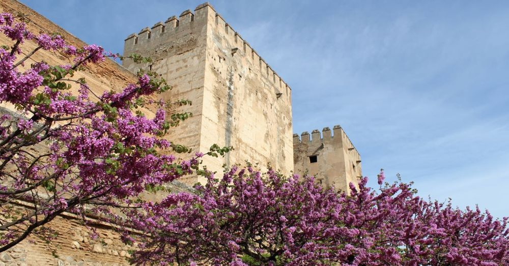 The Judas tree in front of the Alcazaba.
