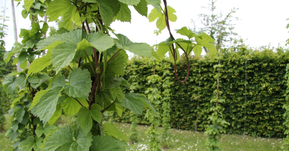 Houblon (hops) growing at the Musée.
