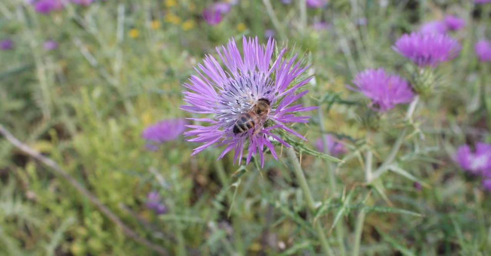 Bee and Thistle, Crete